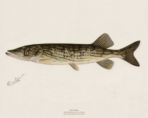 Fish Print of the Pickerel from the Hudson River by Sherman F Denton (1902)